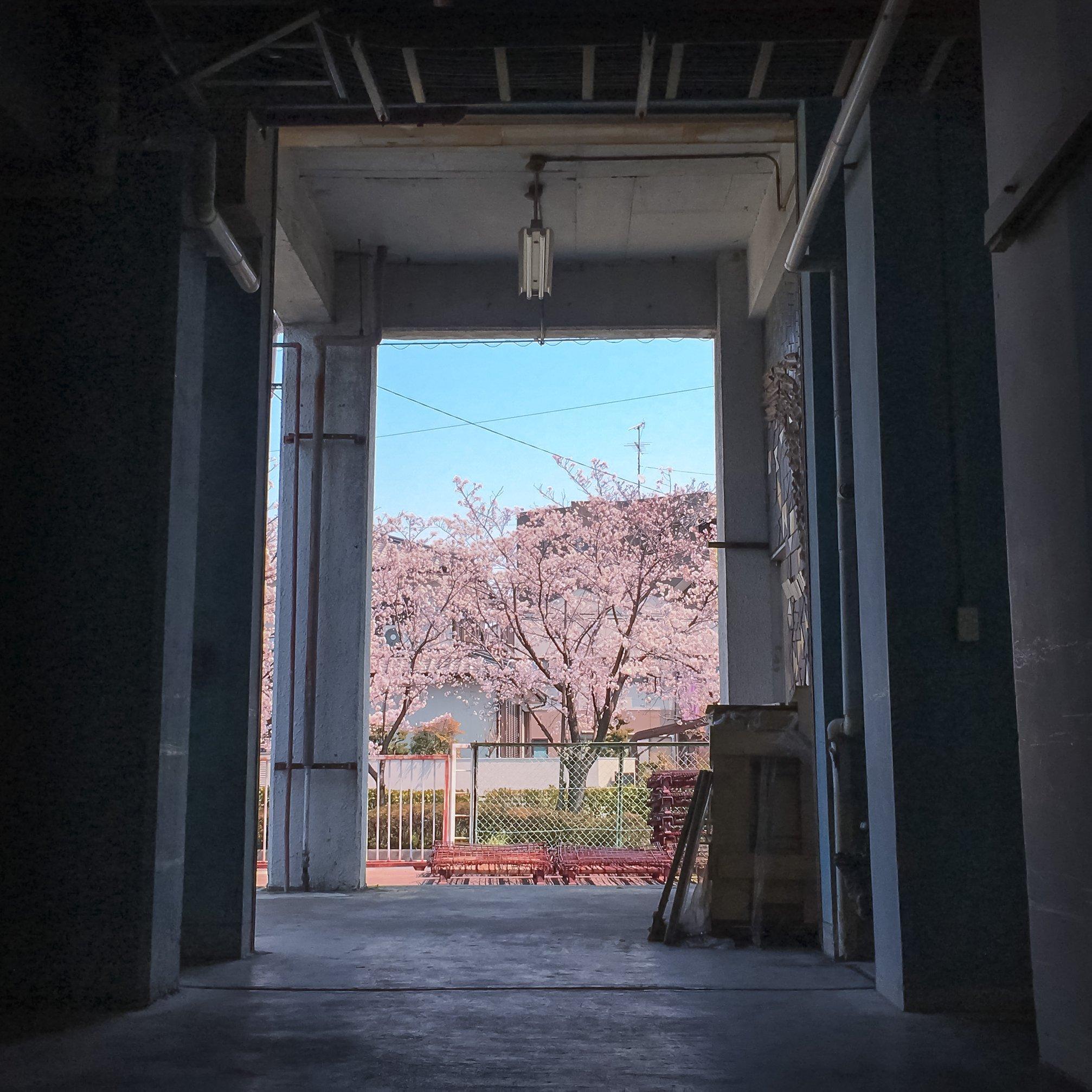 菱源から見える「桜」